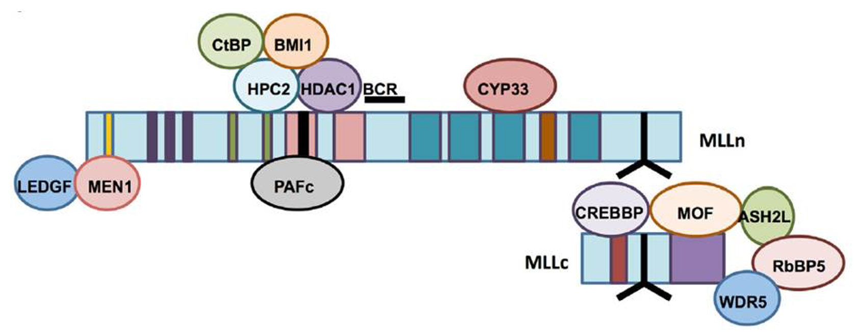Proteins in repressive functions of MLL
